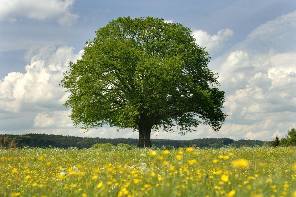 Arbre du monde, arbre de vie Arbre